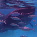 Filipíny - tlama velrybího žraloka je skutečně velká