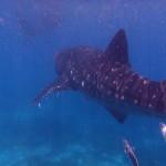 Filipíny - velrybí žralok