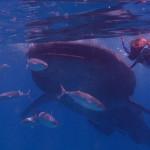 Filipíny - velrybí žralok v těsné blízkosti Pavla