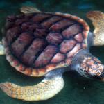 Srí-Lanka-Bentota-želví-zachranná-stanic