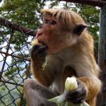 Srí-Lanka-Dambulla-opice