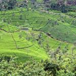 Srí-Lanka-Nuwara Eliya-čajové-plantáže