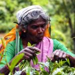 Srí-Lanka-Nuwara Eliya-sběr-čaje