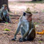 Srí-Lanka-Polonnaruwa-opice