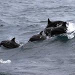 Srí-Lanka-pozorování-delfínů