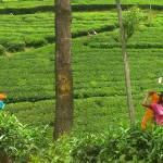 Srí-Lanka-sběračky-čaje-Nuwara-Eliya