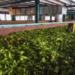 Srí-Lanka-výroba-čaje-Nuwara-Eliya
