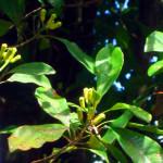 Srí-Lanka-zahrada-koření-hřebíček