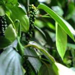 Srí-Lanka-zahrada-koření-pepř