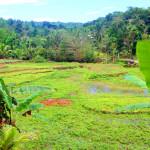 Filipíny-Bohol-rýžová-pole