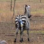 Luxusní-Safari-Afrika-Tanzánie-Serengeti-porod-zebry