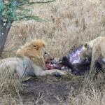 Luxusní-safari-Afrika-Tanzánie-Serengeti-lví-hostina