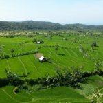 Bali-ryzova-policka
