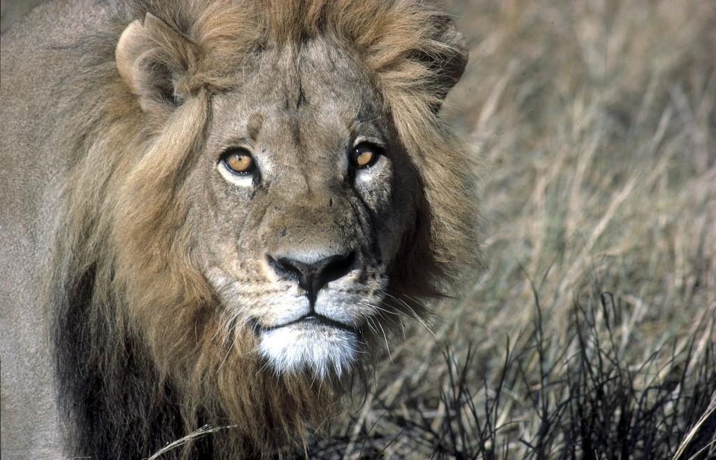 Tanzánie - velká pětka - lev