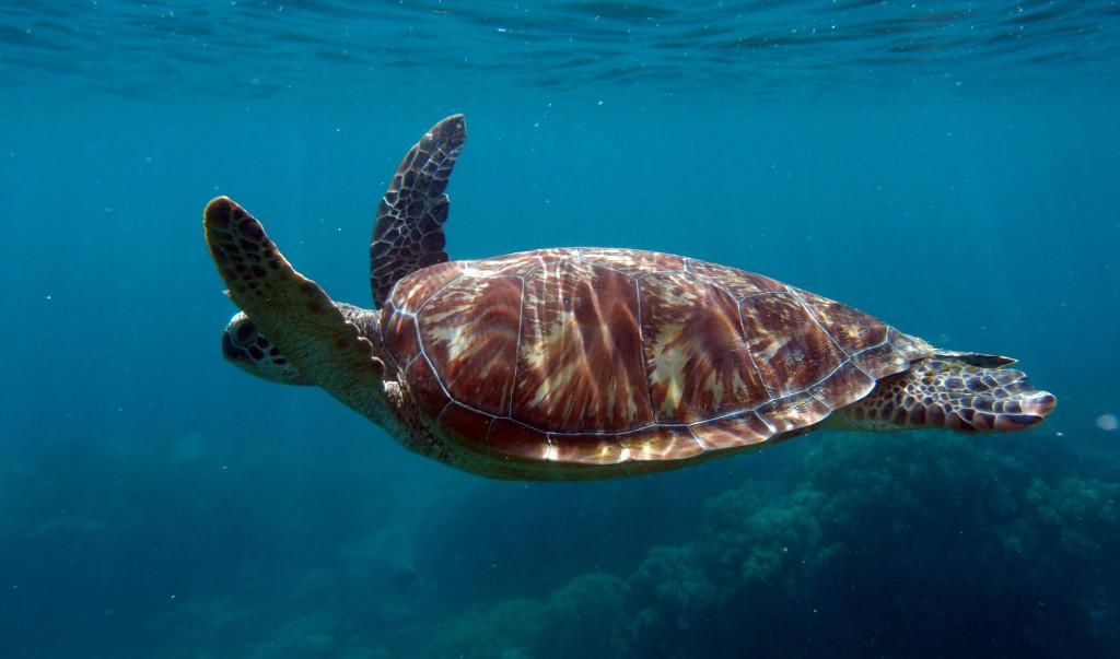 Apo Island - želva obrovská