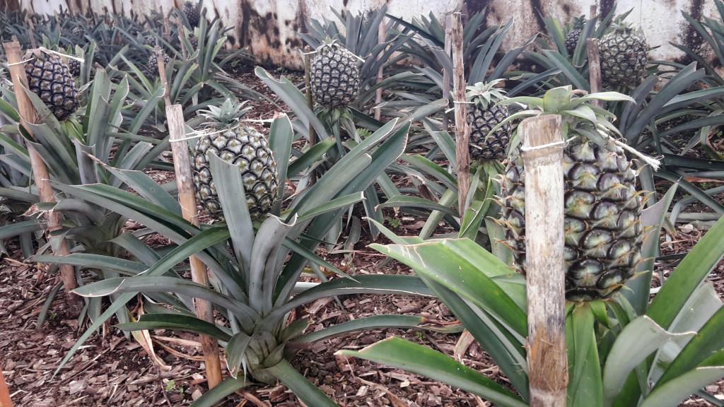 Azory - Sao Miguel - ananasová plantáž
