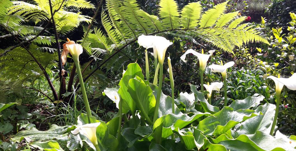 Azory - Sao Miguel - Furnas - Terra Nostra Gadrden - úžasná květena