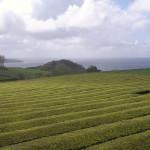 Azory - Sao Miguel - čajová plantáž