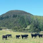Azory - Terceira - býci