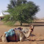 Omán - poušť Wahiba - Desert Night Camp - velbloud
